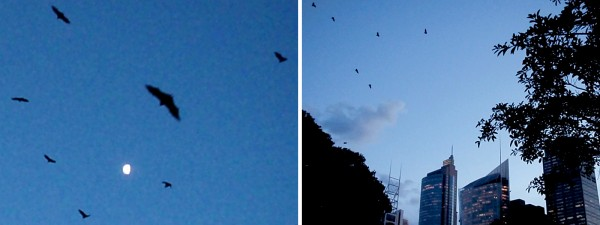 Bats flying over Sydney