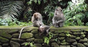Ubud monkey parenting3