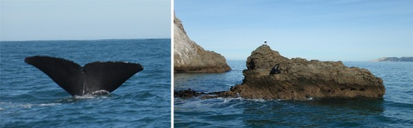 Kaikoura whale watching trip. Left: Sperm whale. Right: A seal on a rock.