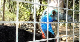 Cassowary close-up, Featherdale Wildlife Park, Sydney