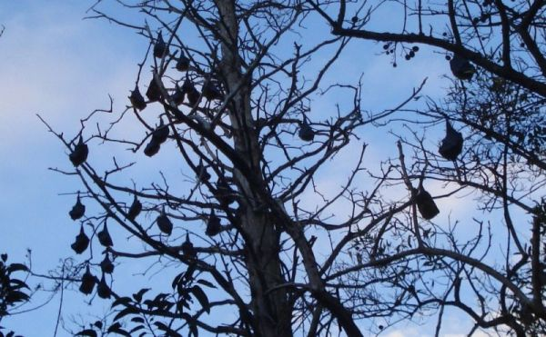Bats hanging form the tree like fruits in Sydney Botanic Garden (Photo © Solo Female Traveler)
