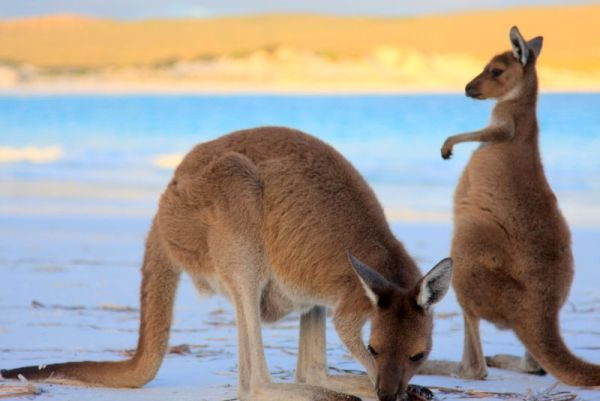 Kangaroos in Cape Le Grand National Park (Photo © Sit Down Disco)