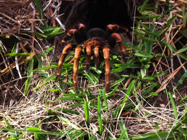 Tarantula in Monteverde, Costa Rica