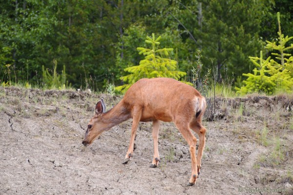 Deer in Wells Gray
